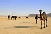 Camels Shadow (TARIQ-M) Tags: shadow texture landscape sand waves desert dunes camel camels riyadh saudiarabia بر الصحراء جمال الرياض صحراء رمال جمل ابل رمل طعس كانون نياق المملكةالعربيةالسعودية canon400d الرمل ناقة خطوط صحاري نفود كثبان براري تموجات canonefs18200mmf3556is تموج