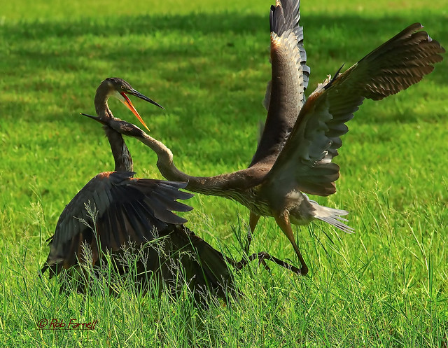 Great Blue Heron Fight