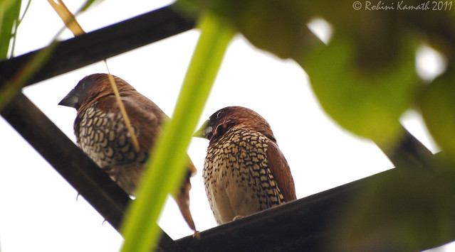 Spotted Munia pair