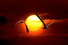 #850C3350b- Flying to the sun (crimsonbelt) Tags: sunset heron birds flying purple wildlife balikpapan