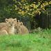 Asiatic lion cubs