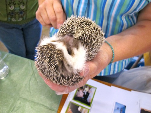 at the fair: hedgehog
