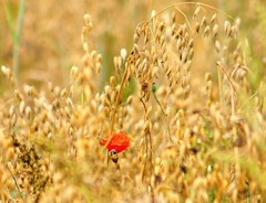 Red element (Jurek.P) Tags: summer nature field corn poppy oat mak zboe owies jurekp sonya500