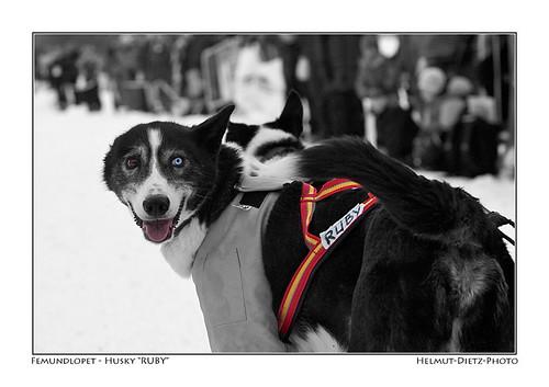 Femundlopet-Husky-RUBY-web