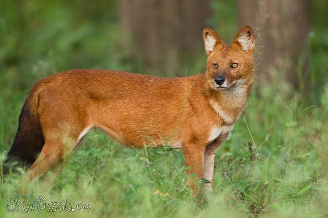 Dhole - Wild Dog