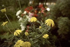 (andrewlee1967) Tags: uk flowers england nature yellow dof bokeh britain sony gb andrewlee andrewlee1967 nex3