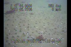 LANGOSTINOS O CENTOLLINOS? (www.ochovientos.cl-) Tags: de filmacion crustaceos submarina