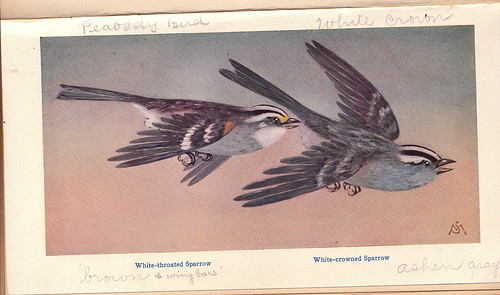 Mathews White-throated Sparrow Drawing