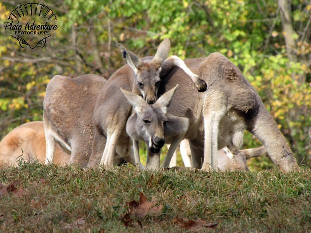 Free-Range Kangaroo