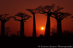Avenue of Baoababs at sunset (Louise Jasper) Tags: sunset red madagascar morondava baobabs adansoniagrandidieri