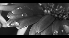 Watering (majestiele) Tags: flowers blackandwhite monochrome droplets drops dew waterdrops