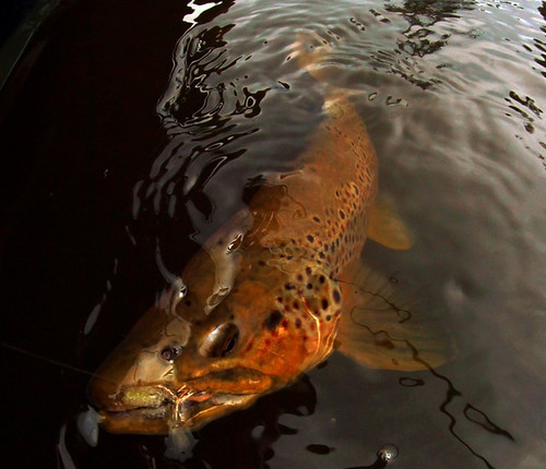 Alberta brown trout