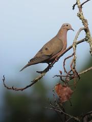 Zenaida auriculata / Torcaza nagiblanca / Eared Dove (felix) Tags: columbidae eareddove zenaidaauriculata birdsofcolombia
