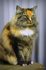 untitled (JorunnSjofn) Tags: summer cat canon iceland greeneyes bigcat reykjavík 2011 jorunn lioncat grjótaþorpið