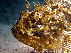Mediterranean Scorpionfish Portrait (luisguijarro) Tags: portrait españa uw face spain mediterranean mediterraneo underwater alicante scubadiving buceo calpe submarinismo underwaterphotography fotosub submarina escorpora scorpaenascrofa wwwluisguijarrocom luisguijarro