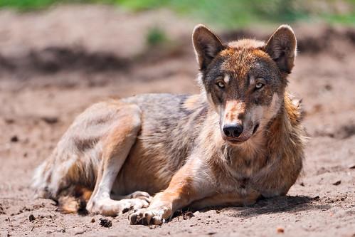 Lying wolf by Tambako the Jaguar