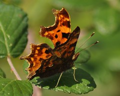 Comma Butterfly (Nymphalis c-album) (marmendy mill) Tags: macro green closeup butterfly bug insect photo leaf nikon niceshot lepidoptera essex soe comma bramble rochford nymphalidae nymphalis calbum fantasticnature platinumheartaward naturesgreenpeace ringexcellence blinkagain