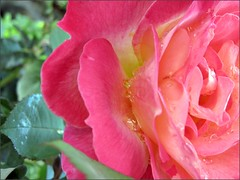 Dewdrops in roses