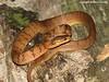 Assam Snail-eater, Pareas monticolam, Buxa Tiger Reserve, West Bengal, India (Subhash Chanda) Tags: snakesofindia indiansnakes snakesofwestbengal subhashchanda snakesofnortheastindia snakesofbuxatigerreserve assamsnaileater paresmonticola