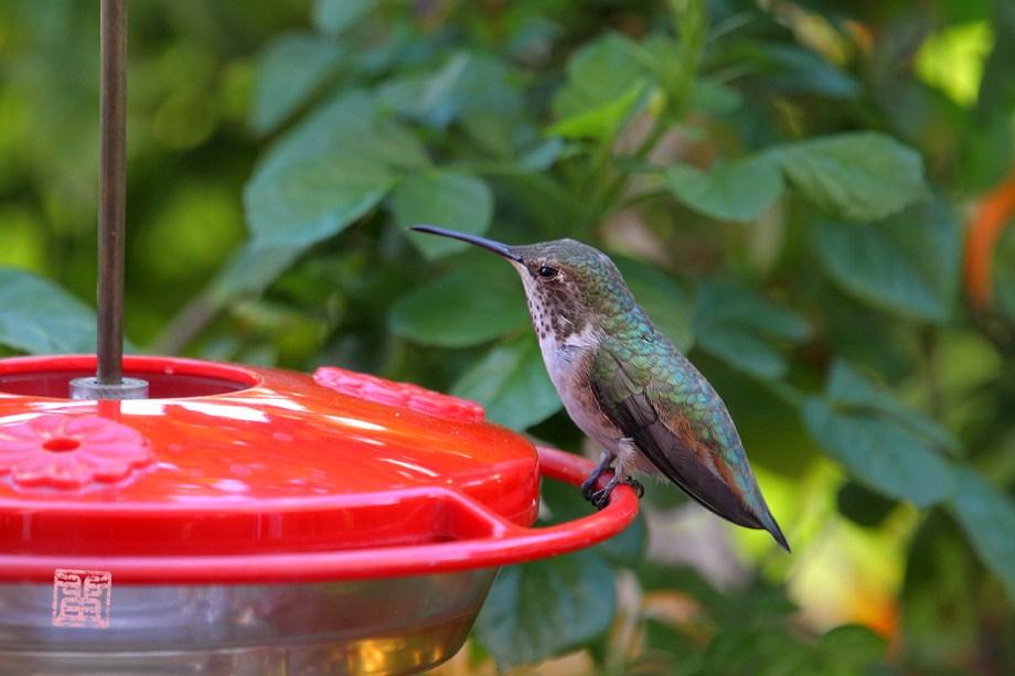 Allen's Hummingbird 100811