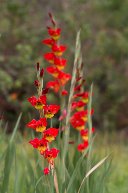 Gladiolus by Yuri Hayashi, on Flickr