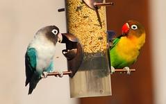 Dynamic Duo (joecrowaz) Tags: city wild arizona color nature phoenix birds animals canon raw feathers feeder seeds manual ef70300mmf456isusm 550d t2i maskedlovebirds