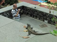 IMG_2802 (klaus nickel) Tags: lizard gallotia natureandpeopleinnature