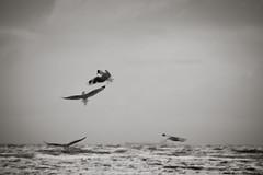 343:365 (tamara erbacher) Tags: seagulls nikon daily 365 18200mm d90 proejct365