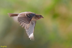 (North American Species # 460) A Brewer's Sparrow From Las Vegas (tinyfishy (Gone to Cuba)) Tags: bird flying inflight brewers lasvegas nevada sparrow henderson brewerssparrow hendersonbirdviewingpreserve