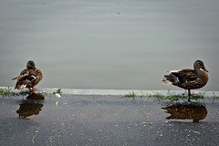 Mallard Ducks on the Constitution Gardens Pond
