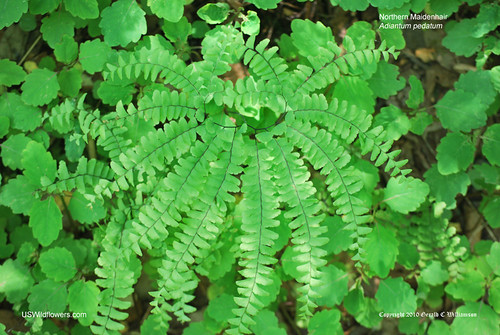 Northern Maidenhair, Five-Fingered Maidenhair Fern - Adiantum pedatum