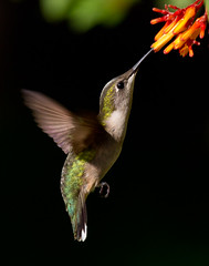 Green On Black (gseloff) Tags: hummingbird 20 avianexcellence top20texas bestoftexas gseloff