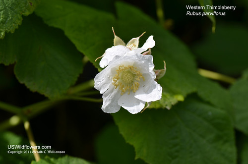 Thimbleberry, Western Thimbleberry, Salmonberry, Mountain Sorrel, White Flowering Raspberry, Western Thimble Raspberry - Rubus parviflorus