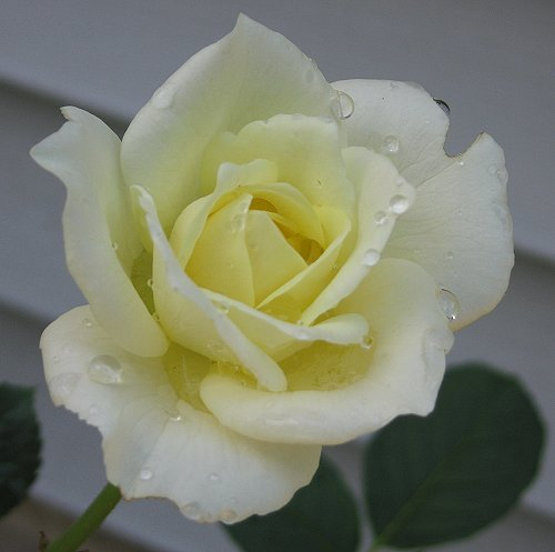 85 percent perfect. Floribunda Rose Moondance. by Leenechan