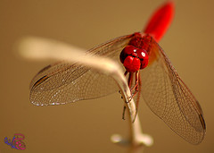 (ahmad hendaoi) Tags: red color macro art dragonfly syria ahmad aleppo               hendaoi