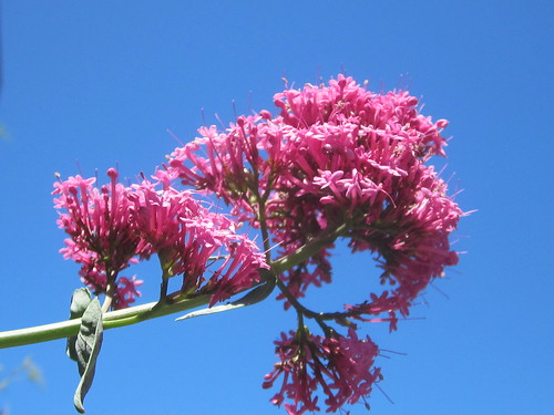 Pink Flowers and a Blue Sky