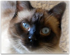 Jazz, the cat (Gabbcan) Tags: cat kitten kat chat siamese gato katter gatto katzen gatti gatinho   siamesische jazzthecat  blueeyes catsandflowersoutdoorcat   gabbcan