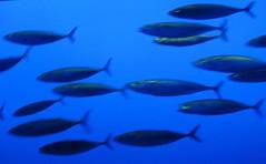 Mackerel, I think. Or young tuna?  Not sardines or anchovies... (wbaiv) Tags: california vacation water beauty animal museum mackerel aquarium bay coast monterey tank natural salt nopeople pleasure exhibits cliche letsgo endless cliches facination neverbored