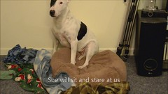 This happens every night () J@son () Tags: bed sleep cover blanket mollie bullterrier whine