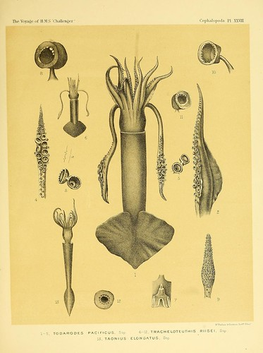 011-Report on the Cephalopoda collected by H. M. S. Challenger …1886- William Evans Hoyle.