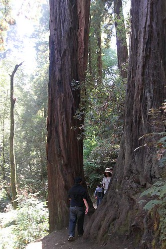 Narrow and unpaved trail between the trunks of redwood trees at Muir Woods, San Francisco