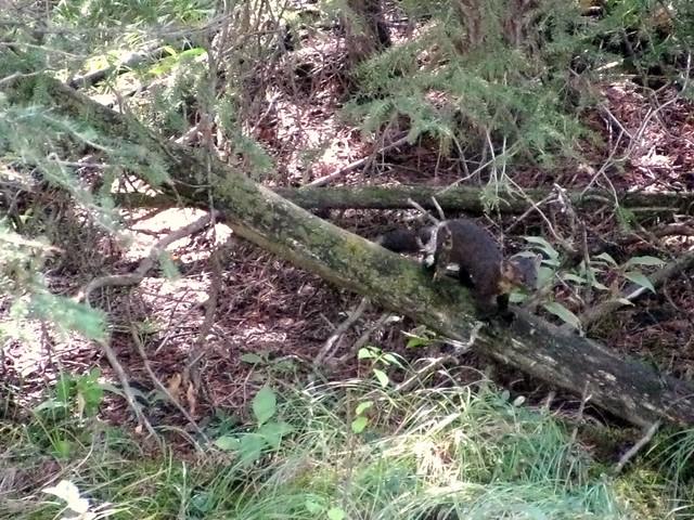 More pine marten!