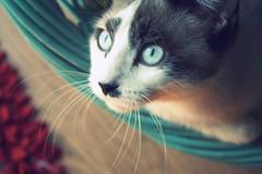 (provincijalka) Tags: blue pet white love look cat eyes focus kitten gray whiskers lazy wise athome gaze slits allmine provincijalka blueeyedjo