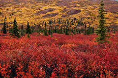 Autumn in Denali (mcmillend) Tags: autumn red fall yellow alaska denalinationalpark september2011