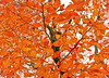 orange [Explored!] (Shandi-lee) Tags: autumn red orange ontario canada tree fall leaves gold october vibrant branches colourful twigs