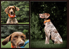 Bailey the Little GSP on canvas (The_Little_GSP) Tags: dog pointer bailey germanshorthair germanshorthairedpointer thelittlegsp littlegspphotography