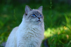 Gorgeous Girl On Green (joecrowaz) Tags: city blue wild arizona cats pets color nature phoenix birds animals canon eyes focus raw manual interested 550d ef300mmf4lisusm bestofcats t2i boc0911