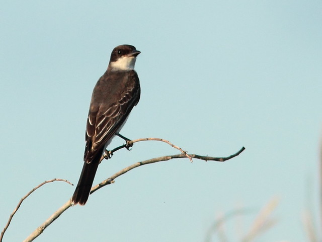 Eastern Kingbird 3-20110923