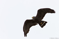 Zone-tailed Hawk / Buteo Albonotatus  (Erick Houli) Tags: birdsofprey rapaces caracasvenezuela zonetailedhawk buteoalbonotatus canon14xteleconverter canon300mmf4 canoneos7d gavilnzamuro