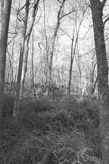 Forest with Barberry Understory (sandy richard) Tags: wildwood wildwoodstatepark newyorkstateparks longislandbeaches sandyrichard sandrarichard